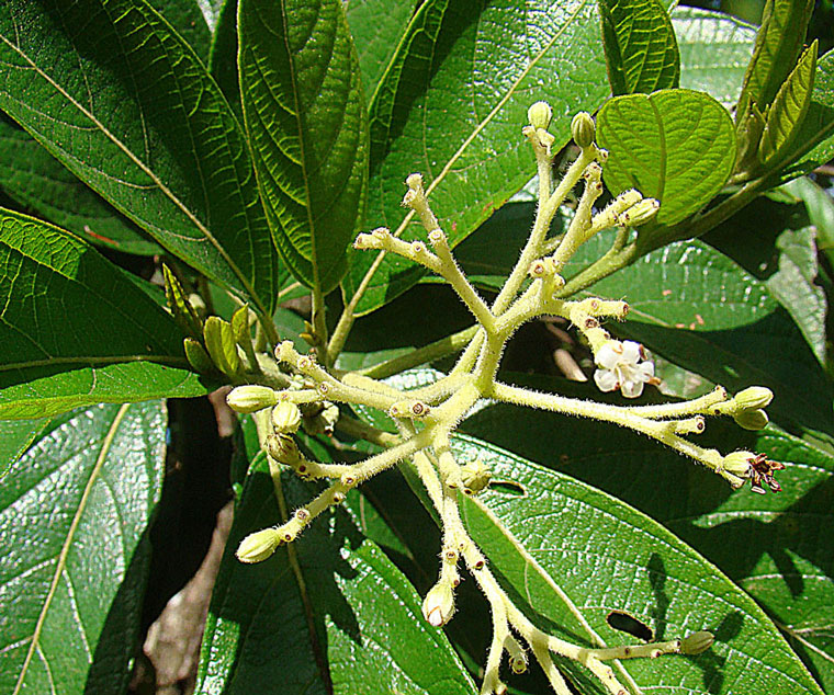 Psychotria viridis, a Shamanic species